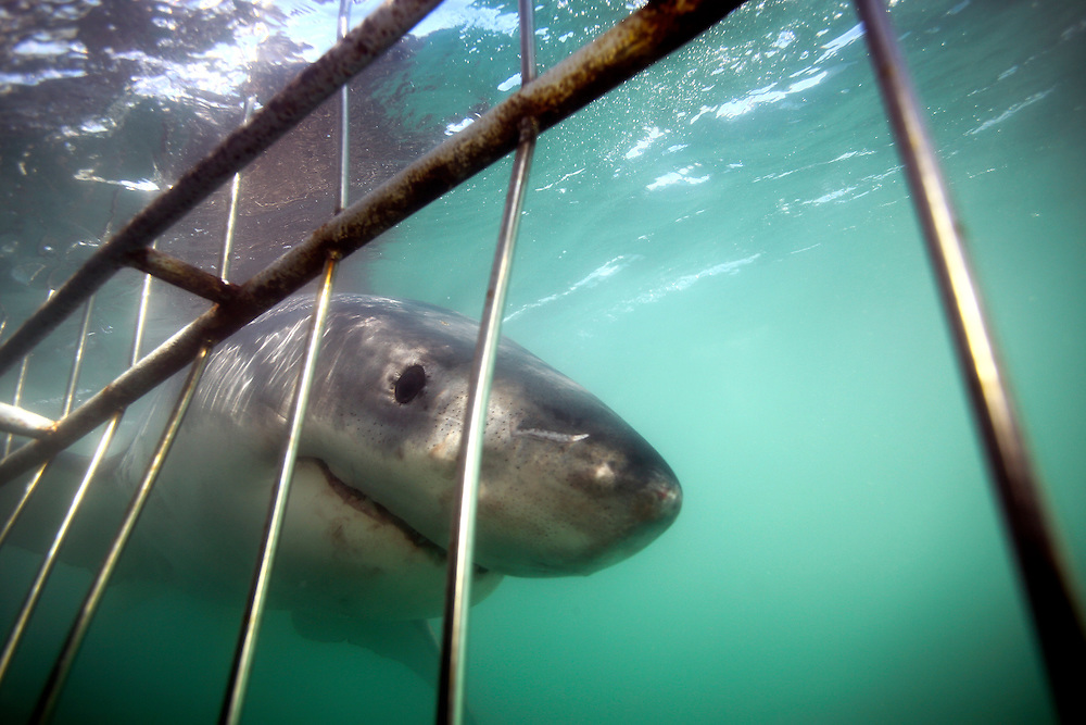 Great white shark (Carcharodon carcharias) underwater view from a cage