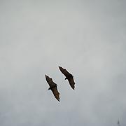 Couple of flying fruit bats.