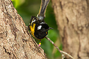 Stitchbird (hihi) are a North Island species only, originally found throughout the North Island and offshore islands such as Kapiti, Great Barrier and Little Barrier Islands. There is no record of them ever having been in the South Island.