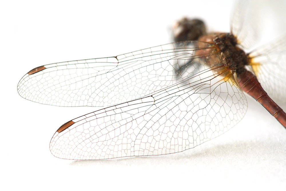 close up view of dragonfly wings on white background