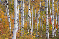 Birch trees in autumn White Mountains New Hampshire USA