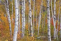 Birch trees in autumn White Mountains New Hampshire USA