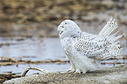 Snowy Owl - Bubo scandiacus with its beak open and its feathers raised