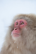 Snow monkey looking skyward