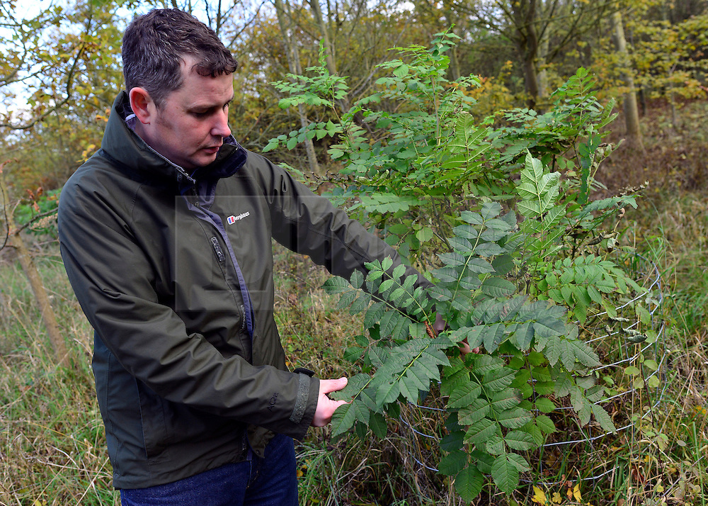 © Licensed to London News Pictures. 07/11/2012. LAWSHALL, UK A healthy tree. Nick Dickson, Environmental Education Leader at the Green Light Trust inspects his ruined trees.  Trees at an infected site in East Anglia today, 7th November 2012. UK ash trees are threatened by the spread of Chalara disease, more commonly known as Ash Dieback. The Green Light Trust, an environmental charity near Bury St Edmunds has found its stock of Ash trees decimated with the disease. The community managed woodland has set up an appeal to help find a long term solution to the disease.  Photo credit : Stephen Simpson/LNP