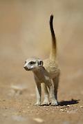 Ein junges Erdmännchen (Suricata suricatta) ist im Alter von etwa zwei Monaten  schon außerhalb der Höhlen aktiv, kann aber noch nicht selbständig Beute fangen. Erst mit drei Monaten ernährt es sich mit selbstgesuchten und selbst ausgegrabenen  Insekten, Spinnen, Reptilien oder Skorpionen. | Suricate or Slender-tailed Meerkat (Suricata suricatta)