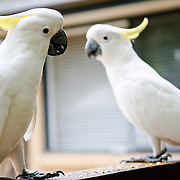 Two cockatoos on a ledge in a backyard. Focus on bird on the left.