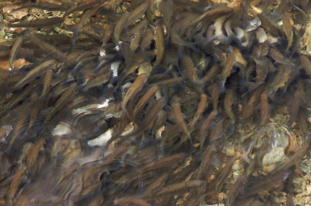 Chub, Alet oder D&ouml;bel, Chevaine (Leuciscus cephalus)<br /> Spawning in shallow water, Sava river, Slovenia<br /> Laichend in seichtem Wasser, Sava, Slowenien<br /> Sur fray&egrave;re, rivi&egrave;re Sava, Slov&eacute;nie<br /> 12-06-2008