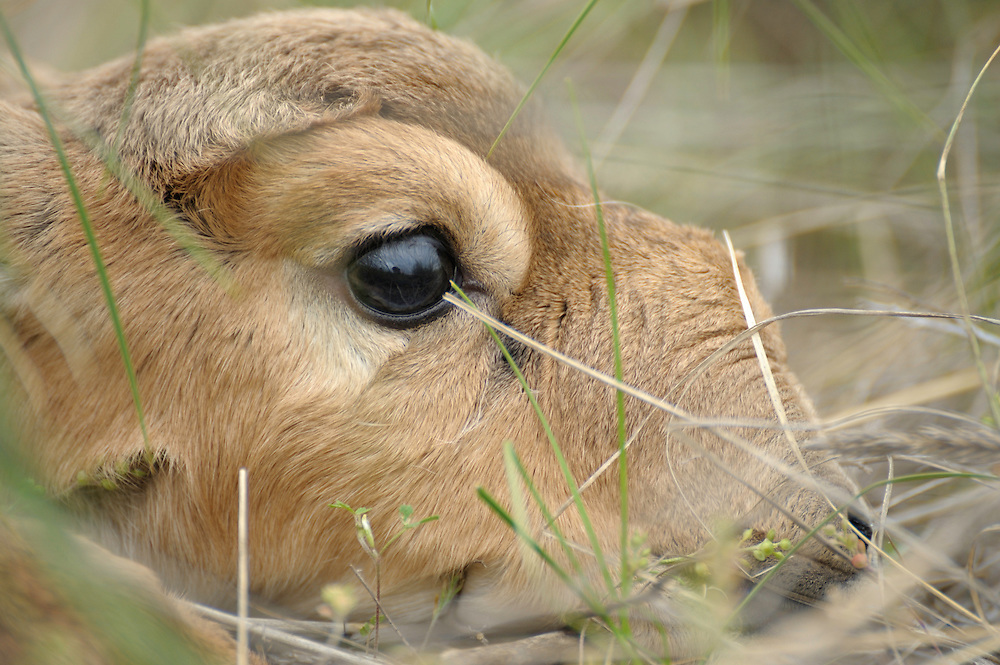 Mission: Saiga.Saiga (Saiga tatarica) newborn lies in the steppe grasses of Cherniye Zemly (Black Earth) Nature Reserve, Kalmykia, Russia, May 2009.Saiga tatarica