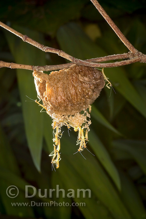 praying mantis nymphs (Tenodera sinesis) emerge from their egg case, or ootheca, in a garden in Portland, Oregon.