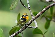 Gilded Barbet (Capito auratus) Male<br /> Yasuni National Park, Amazon Rainforest<br /> ECUADOR. South America<br /> HABITAT & RANGE: Forests of western Amazon and Orinoco from Colombia, Ecuador, Peru, Venezuela, Bolivia and Brazil