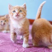 20130528 Orange Tabby Kittens