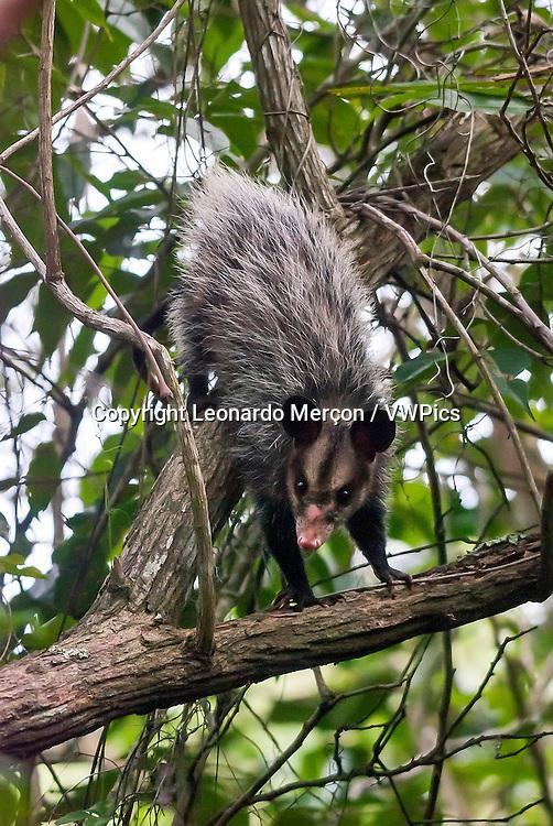Big-eared opossum (Didelphis aurita) climbing in a tree