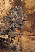Ice, frost, Juniper, Juniper Tree, Canyon, Winter, Capitol Reef, Capitol Reef National Park, Utah
