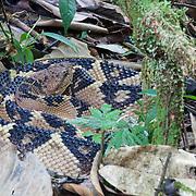 Bushmaster (Lachesis muta). Conservation Concession of the Queros Wachiperi Native Community near Pilcopata, Peru. The Haramba Queros Wachiperi Conservation Concession is part of the Los Amigos - Tambopata Conservation Corridor.