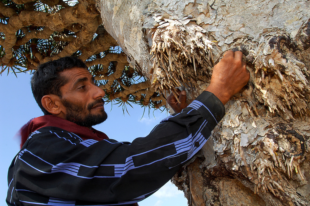 Salim scrapes the trunk of a dragon tree. Diksam upland, Socotra island, Yemen. Dragon Tree (Draceana cinnabari) is a relic plant native to the Socotra archipelago in the Indian Ocean. Is found not lower that 300m of height. It is so called due to the red sap that the trees produce and is used for producing dyes and varnish. Diksam upland, Socotra island, Yemen. Dormant and indecisive, the island of Socotra has floated for millions of years between Africa and the Arabian peninsula. Such isolation makes it the ideal sanctuary for vegetation that has endured since the Tertiary period (65-2 million years ago), and a peaceful refuge for a vibrant aboriginal culture, an island shrouded in mystery and dark secrets.