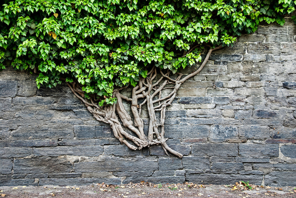 Vine growing out of a wall in  the Abbey of Villers-la-Ville