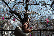 A woman walks under the cherry blossoms in full bloom at Nakameguro in Tokyo on April 3rd. The cherry blossom season in Japan kicks off boozy parties across the country and draws tourists from far and wide. 03/04/2017-Tokyo, JAPAN