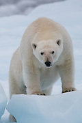 A curious polar bear checks us out.  We are on a small icebreaker ship, the M/S Stockholm.  After we watched the bear for a while, she became curious and began to watch us. For a time it looked like she wanted to board to join us (or have us) for dinner.