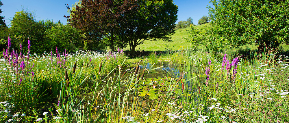 Wildlife pond and wildflowers in a country garden in The Cotswolds, Oxfordshire, UK