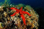 Red starfish (Echinaster sepositus) | Purpurstern (Echinaster sepositus)