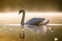 © Licensed to London News Pictures. 23/09/2016. Leeds UK. A swan swims across the lake in this mornings bright sunshine at Golden Acre park in Leeds. Photo credit: Andrew McCaren/LNP