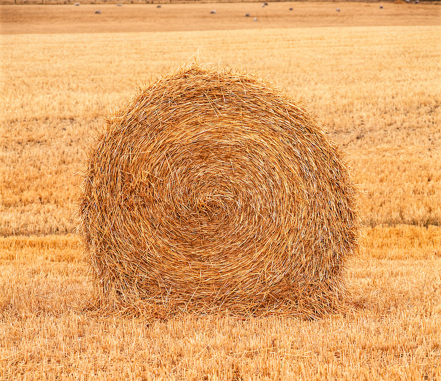Rolled straw bale sits in golden field awaiting pick up at harvest time on New Zealand's south island.