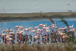 Foto: Claudio Lorai Meli- Fotostudiolabor®-2015 Fenicottero Rosa della Sardegna Foto di uccelli, fauna , natura Foto natura, oasi natualistica di molentargius