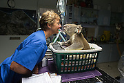 Koala <br /> Phascolarctos cinereus<br /> Cheyne Flanagan, Hospital Supervisor, with Buster (male koala with knee infection)<br /> Koala Hospital, Port Macquerie, Australia<br /> *Captive<br /> *Model release available