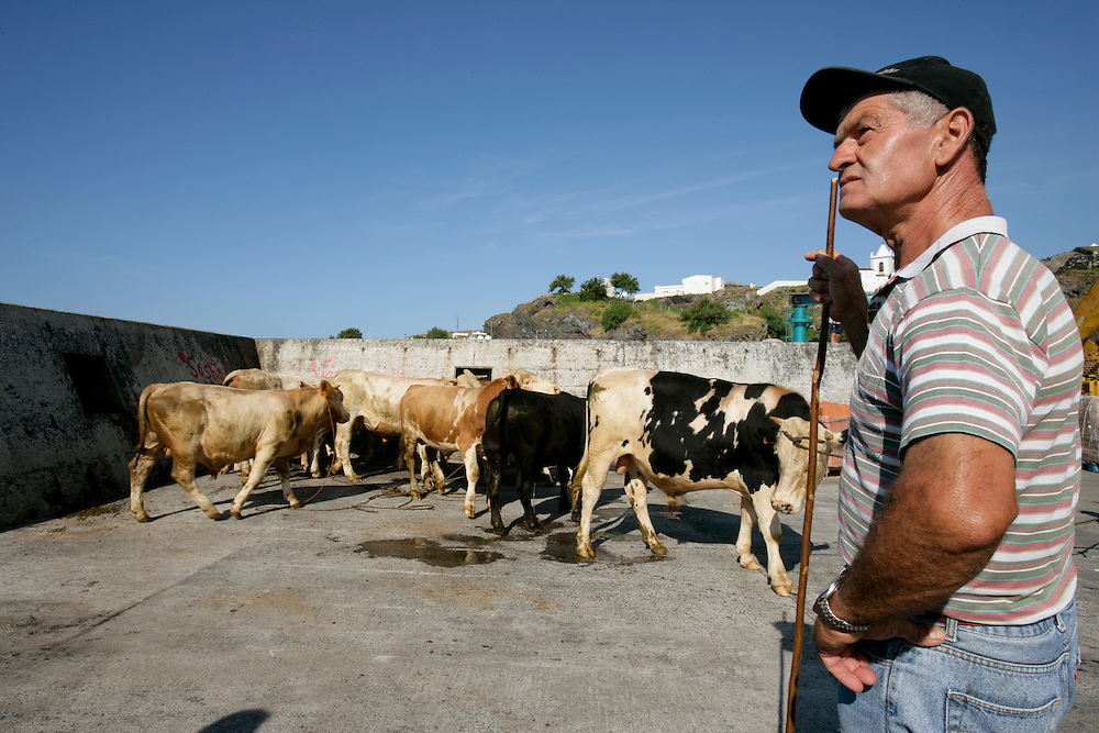 Men putting cattle in a ship for exportation. Dairy products and meat are one of the main productions of the azorean islands.