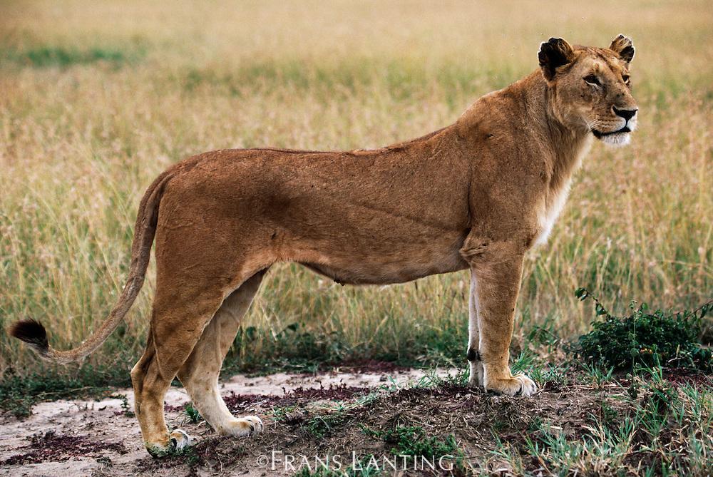 Lioness hunting, Panthera leo, Masai Mara Reserve, Kenya