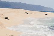 Three Hawaiian Green Sea Turtles rest on the sandy beach on the North Shore of Oahu, Hawaii.