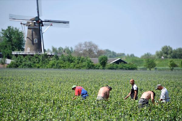 Nederland, Afferden, 28-5-2012Buitenlandse arbeiders,werkkrachten uit Polen, maken de toppen van jonge fruitbomen, appels en peren, vast aan een stok.Foto: Flip Franssen/Hollandse Hoogte