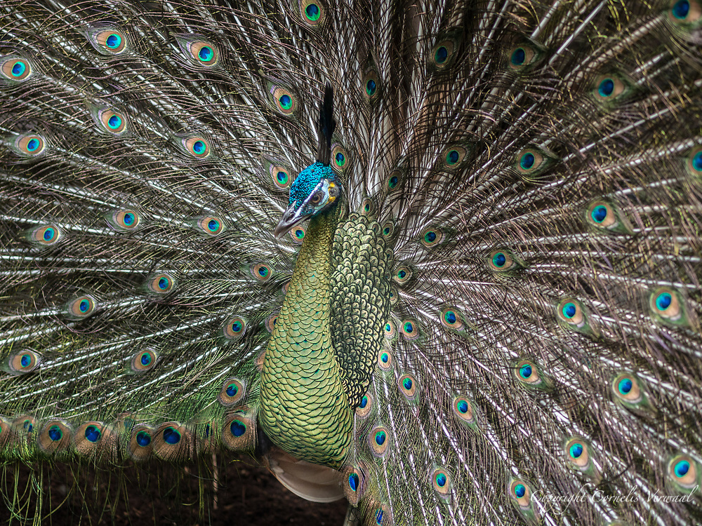 Peacock strutting about at the Central Park Wildlife Conservancy Center