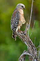 Red shouldered Hawk Buteo lineatus Arthur R Marshall National Wildlife Reserve Loxahatchee Florida USA
