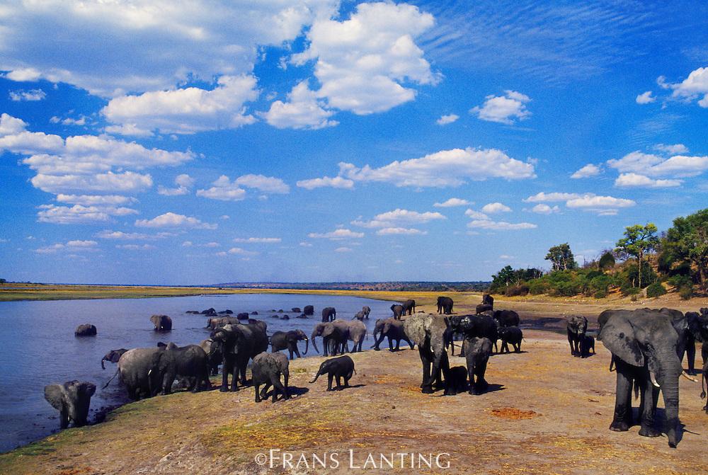 African elephants gathering at river, Loxodonta africana, Chobe River, Botswana