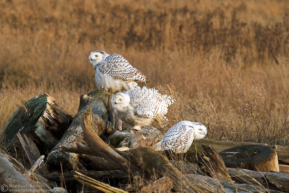 A group of Snowy Owls (Bubo scandiacus) preparing for an evening flight at Boundary Bay in Delta, British Columbia, Canada