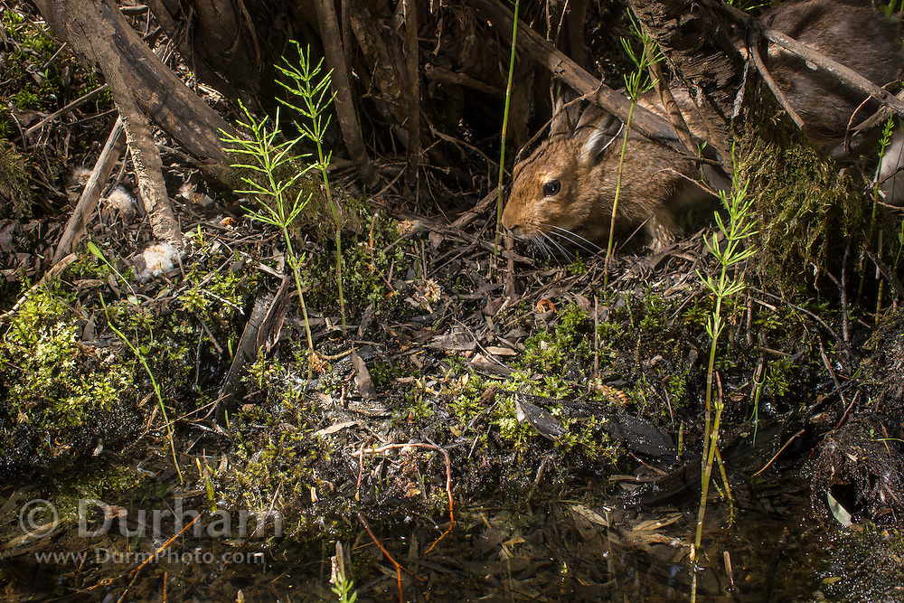 A Snowshoe hare (Lepus americanus) in a summer coat coming down to a small watering spot along the Big Hole River in Montana. Photographed via permit in Big Hole National Battlefield.