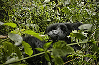 In the Gorillas Mountains.<br /> In this area, Dian Fossey undertook an extensive study of gorilla groups. She studied them daily in the mountain forests of Rwanda  over a period of 18 years, then she was murdered.