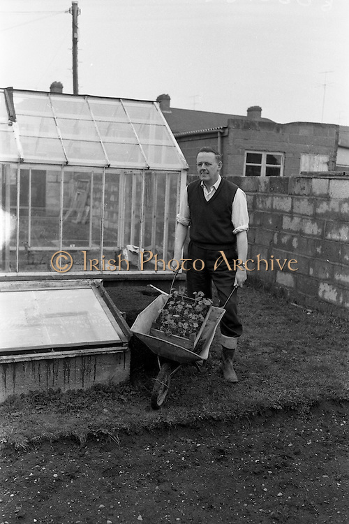 06/04/1963<br /> 04/06/1963<br /> 06 April 1963<br /> Ken Hill gardening at his home, 159 Kincora Road, Clontarf, Dublin. Special for Irish Shell Ltd.
