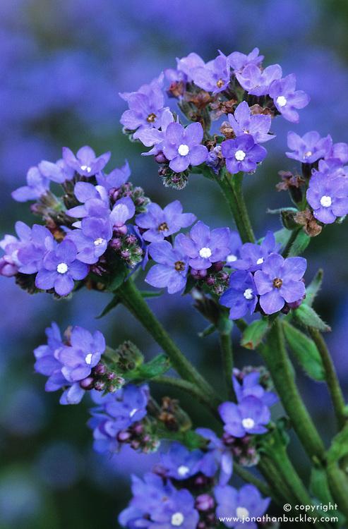 Anchusa azurea 'Blue Heaven'. Alkanet