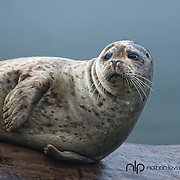 Harbor Seal resting on log;  British Columbia in wild.