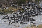 Wildebeests crossing the Mara River, Kenya, in July 2013, as a part of their annual migration.