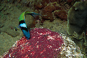bluehead wrasse, Thalassoma bifasciatum, feeding on eggs of sergeant major damelfish, Abudefduf saxatilis, Dominica ( Caribbean )