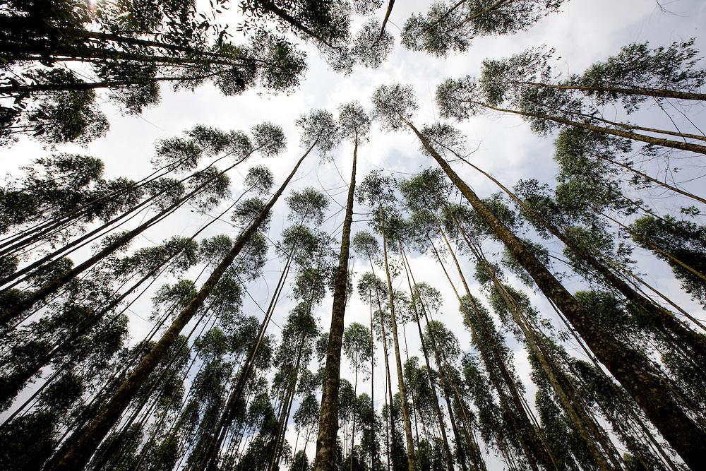Eucaliptus plantations near the P.T. Indah Kiat Pulp and Paper Terbuka Company plant (part of the Asia Pacific Pulp APP)     near Perawang, Indonesia, Aug. 31, 2008. Daniel Beltra/Greenpeace