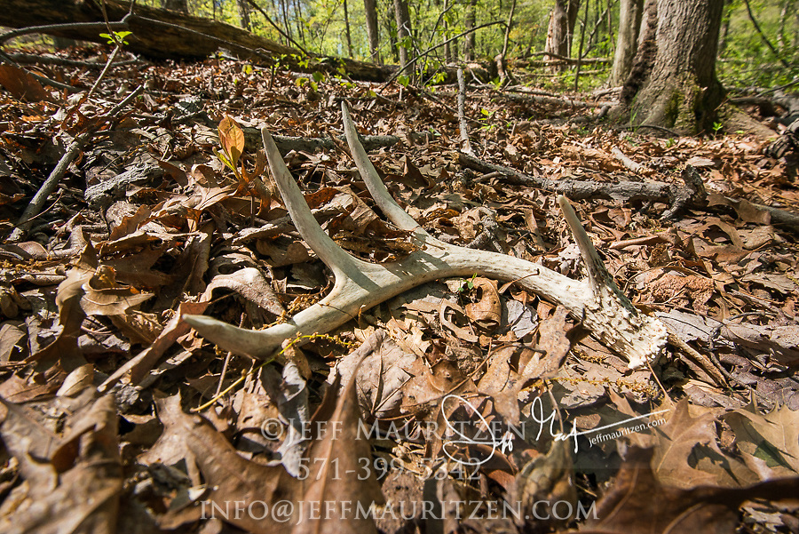 White-tailed deer antler sheds on leaves in a forest.