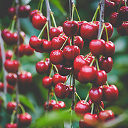 Dwelly Farms - Commercial Cherry Harvest - 12Jun19