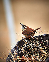 House Wren. Image taken with a Nikon D5 camera and 600 mm f/4 VR lens