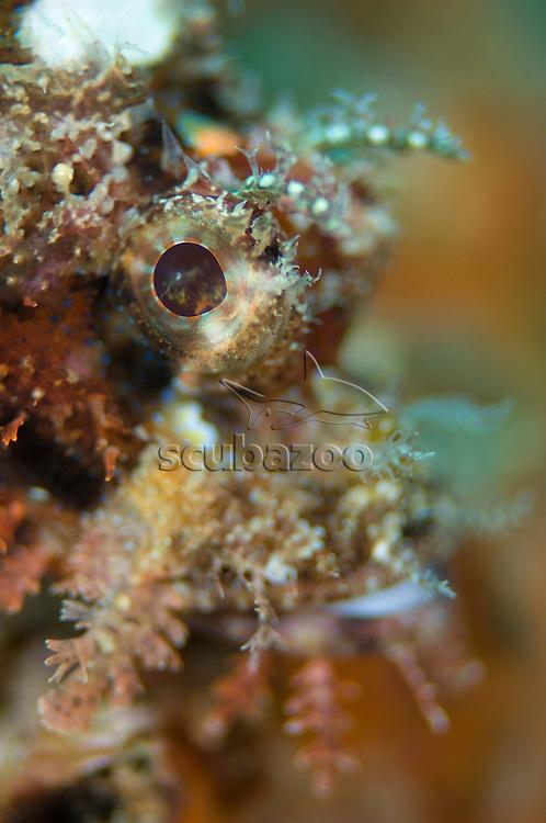 Reef Scorpionfish, Scorpaenopsis cirrhosa, Anilao, Solo, Anilao Mabini, Batangas, Philippines
