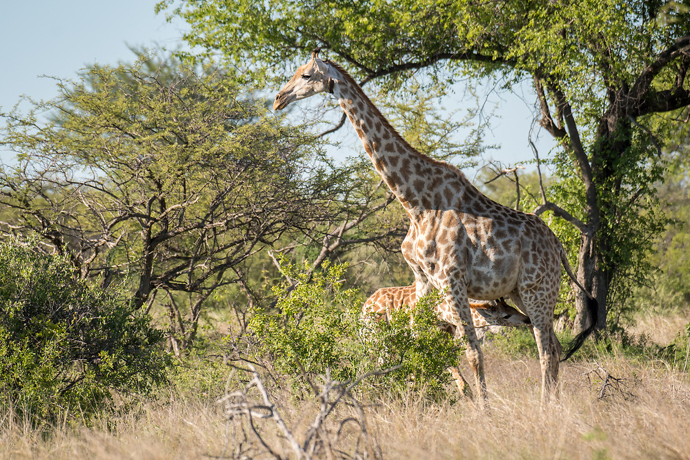 A mother giraffe in the savanna of Zimbabwe stands and nurses her young calf in Hwange National Park.. Hwange, Zimbabwe